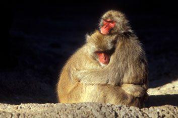 baboonshugging