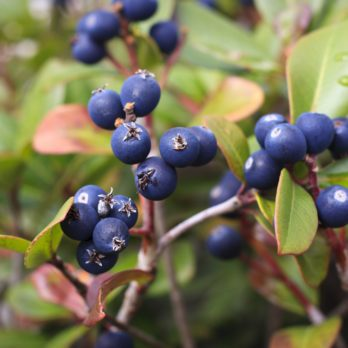 Bilberry Extract Improves Eye Conditions and Circulation