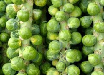 Brussels sprouts large