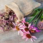 Echinacea: A Natural Remedy That Protects Your Immune System and Helps Prevent Colds