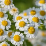 Feverfew: A Natural Remedy for Migraine Relief