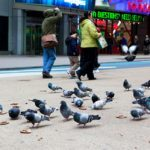 News: Woman contracts meningitis from pigeons