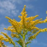 Bright Yellow Ragweed Against Blue Sky