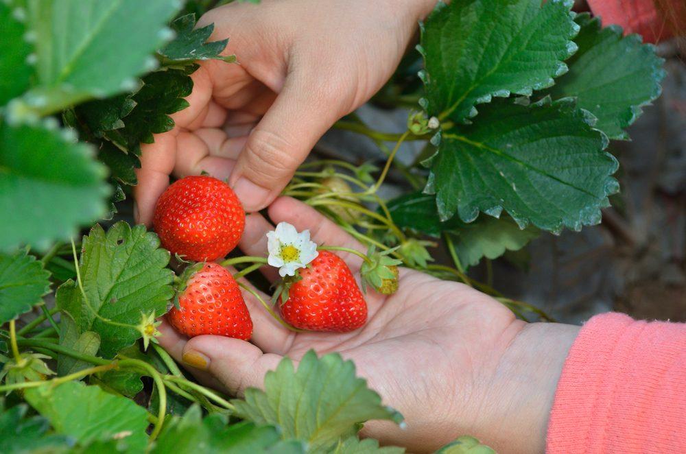 strawberries 10