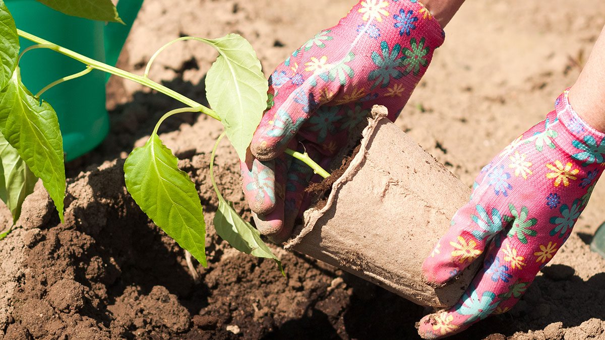 garden planning meal, woman planting a pepper plant