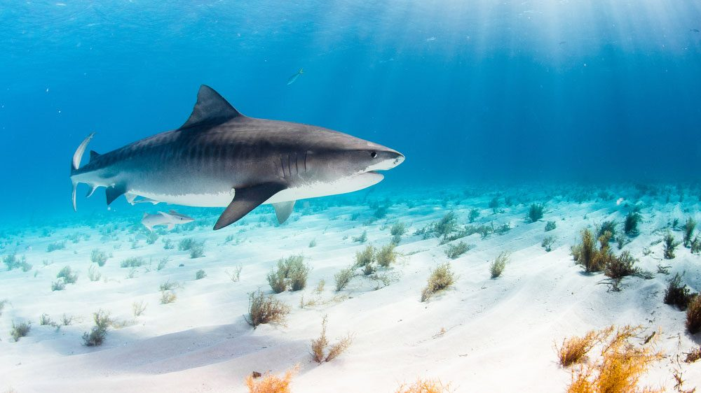 cancer myths sharks