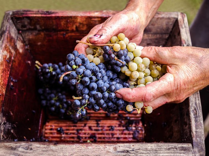 Old man's hands checking grapes