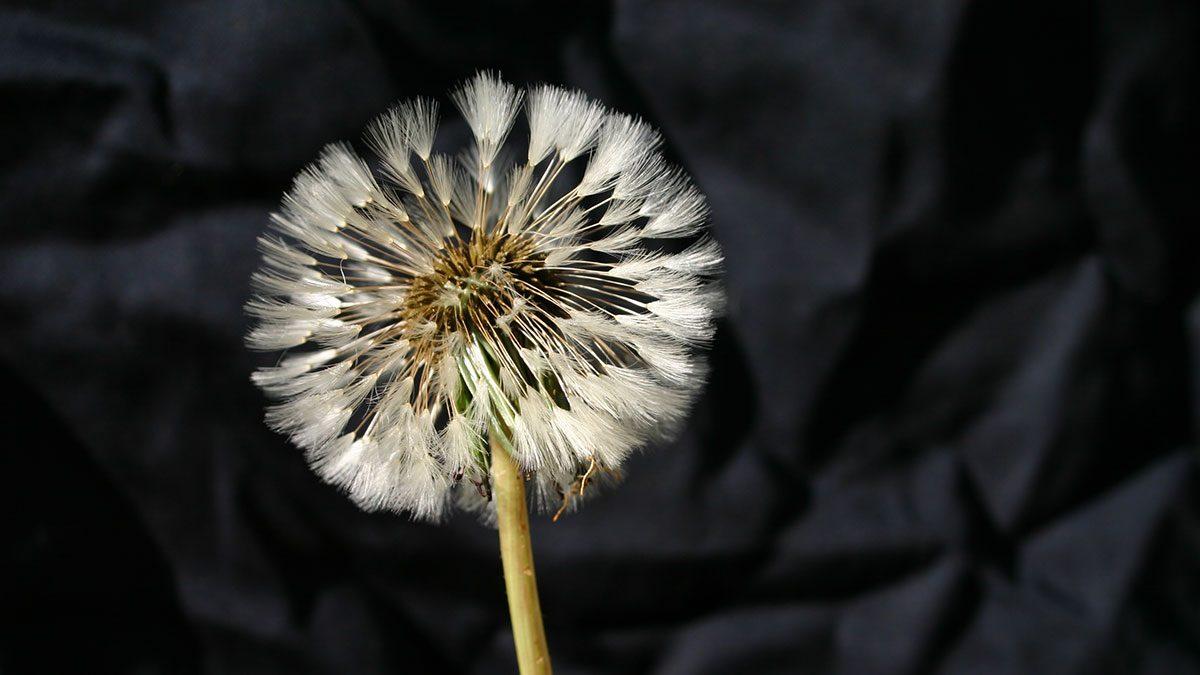 Detox, dandelion