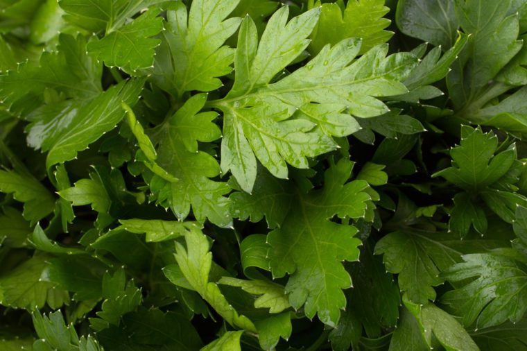 Fresh Parsley background closeup