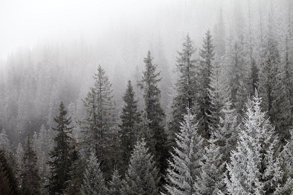 Frozen winter forest in the fog. Carpathian, Ukraine.