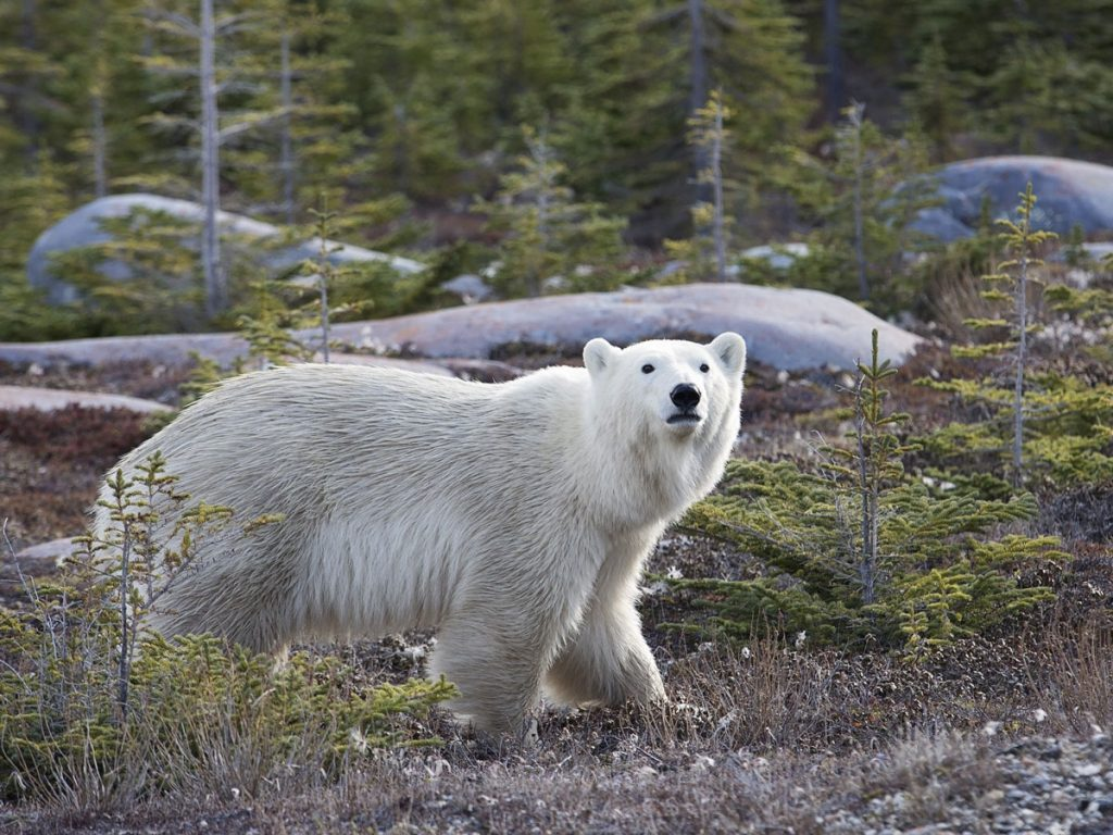 Manitoba polar bear