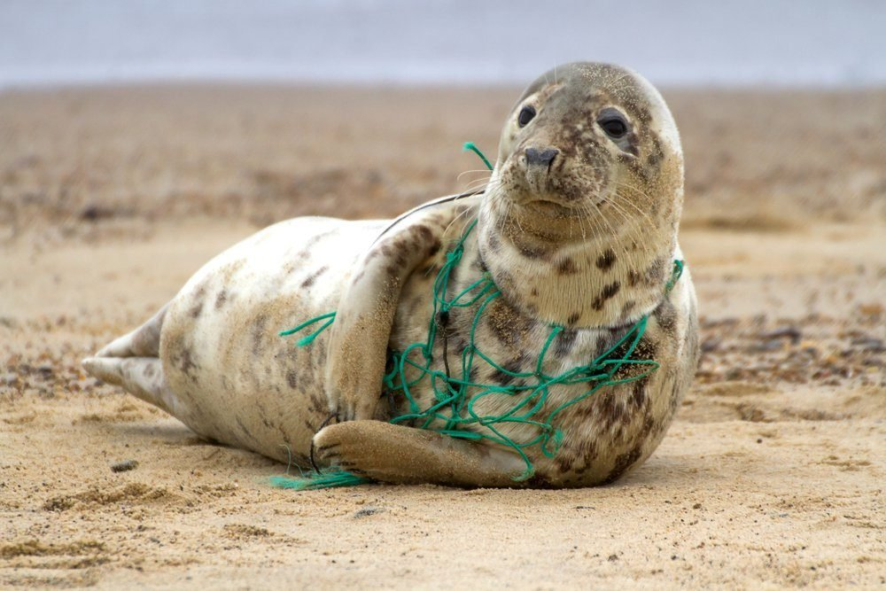 A Grey Seal at Horsey Beach in Norfolk England, tragically caught in a section of fishing net, an upsetting site that was reported to local animal welfare.