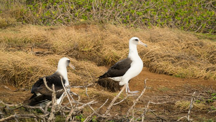 Layson Albatross Oahu Hawaii