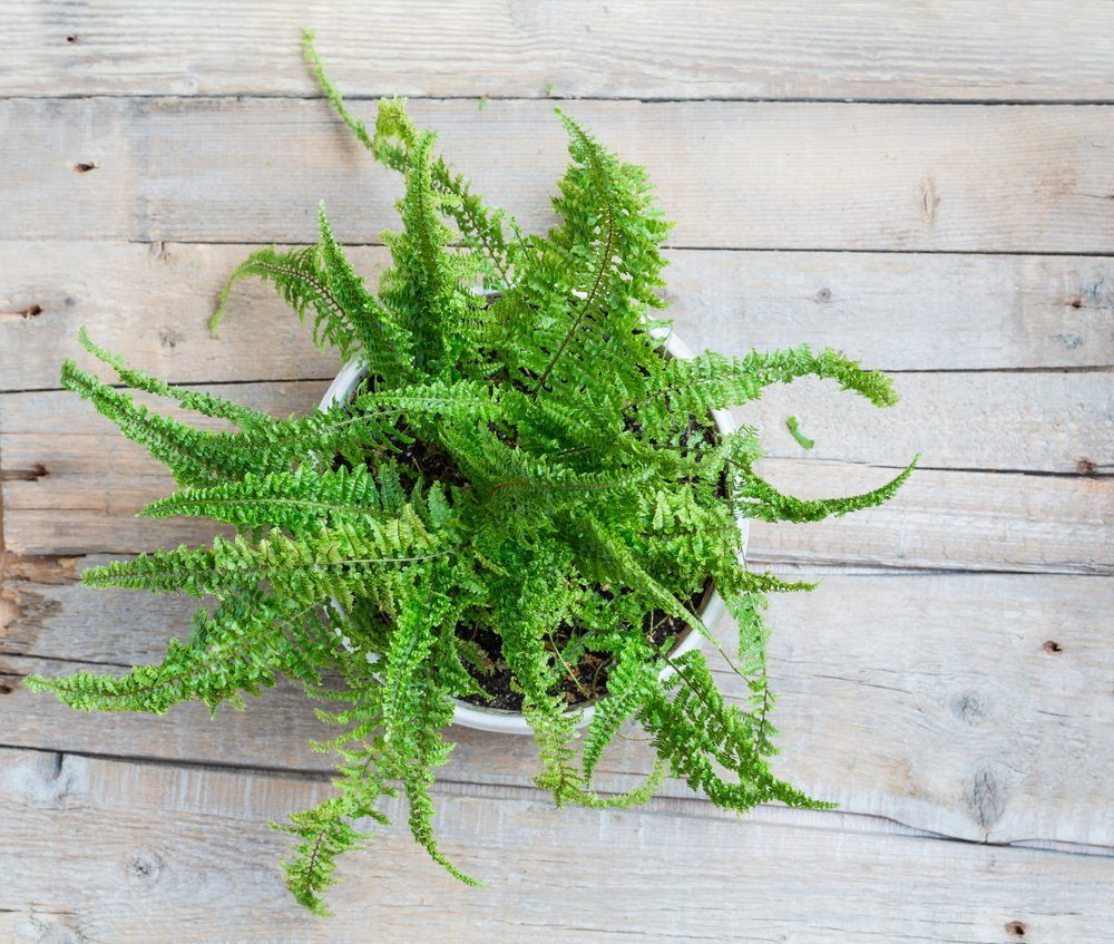 Fern bush on a wooden surface. View from above