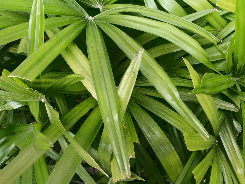 Nature tropical top view of leaves Lady palm dark tone. for background and texture.