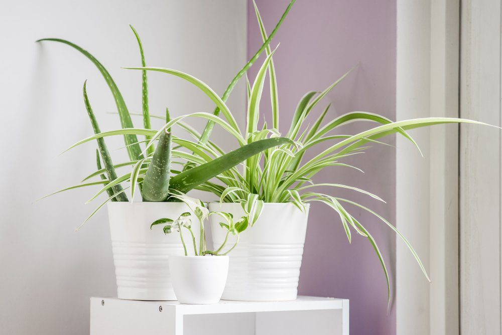 Three plants in a bright sunny corner of a house in shiny glazed white ceramic pots. Houseplants are aloe vera, spider plant, and pothos