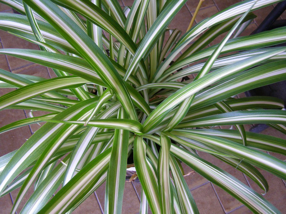 green chlorophytum comosum aka spider plant, airplane plant, St Bernard lily, spider ivy or ribbon plant
