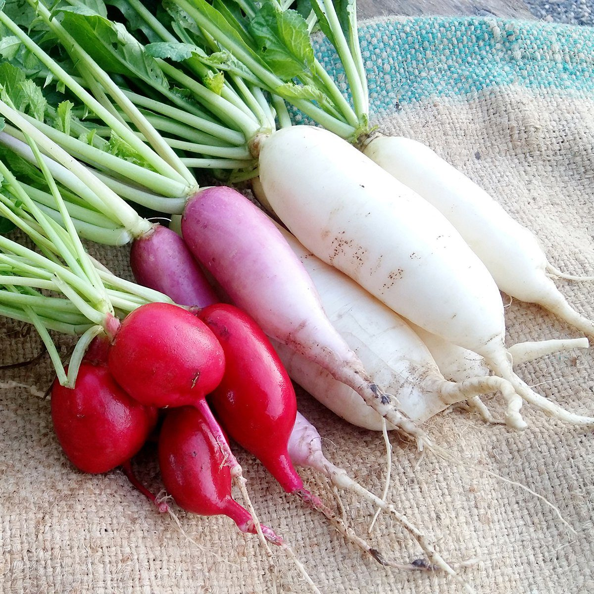 White radishes and radishes, purple and Radish that are snugly and beautifully arranged.