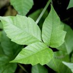 What All Canadians Need to Know About Poison Ivy