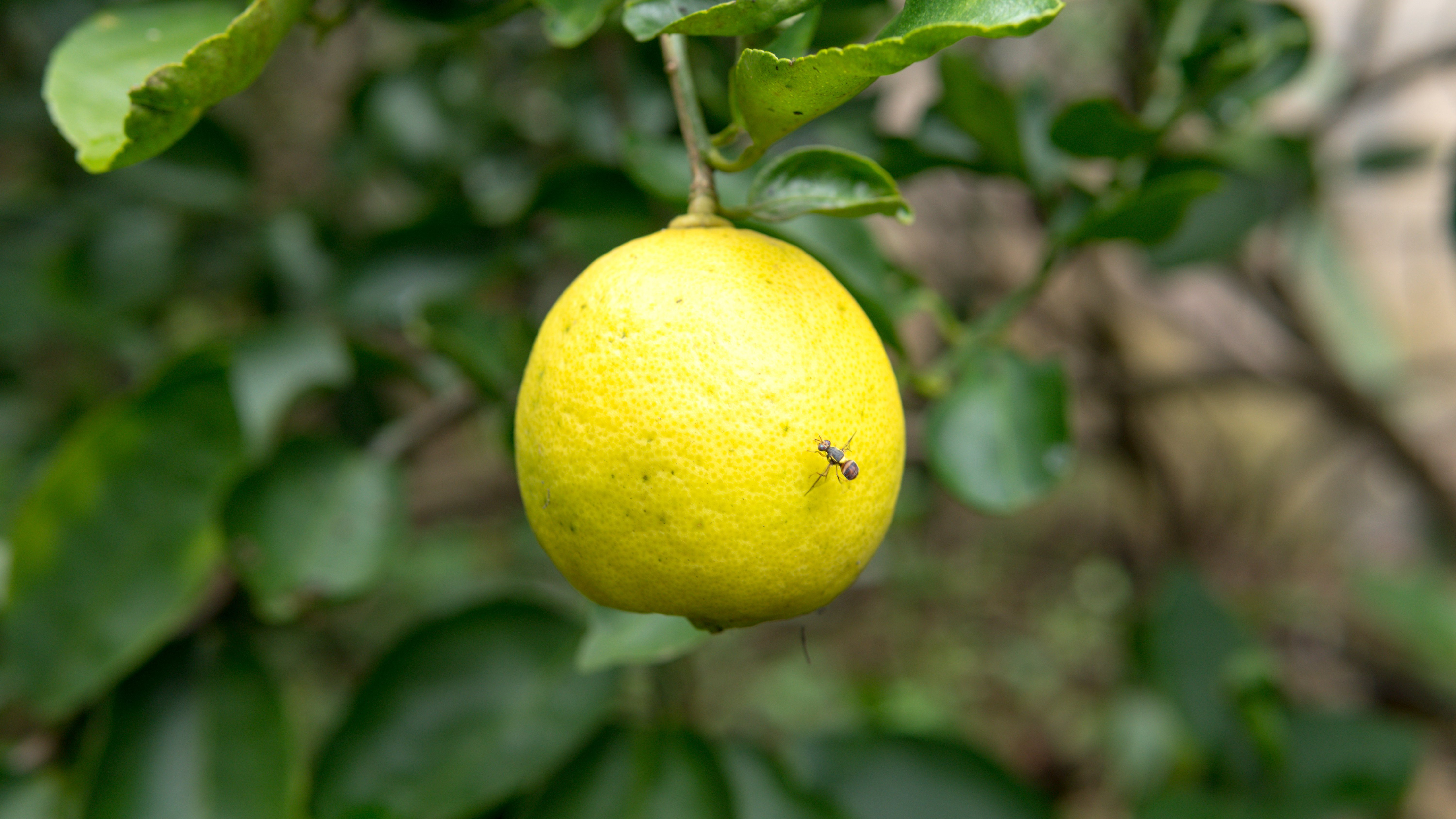 Bug on yellow lemon fruit , Lemon on the tree