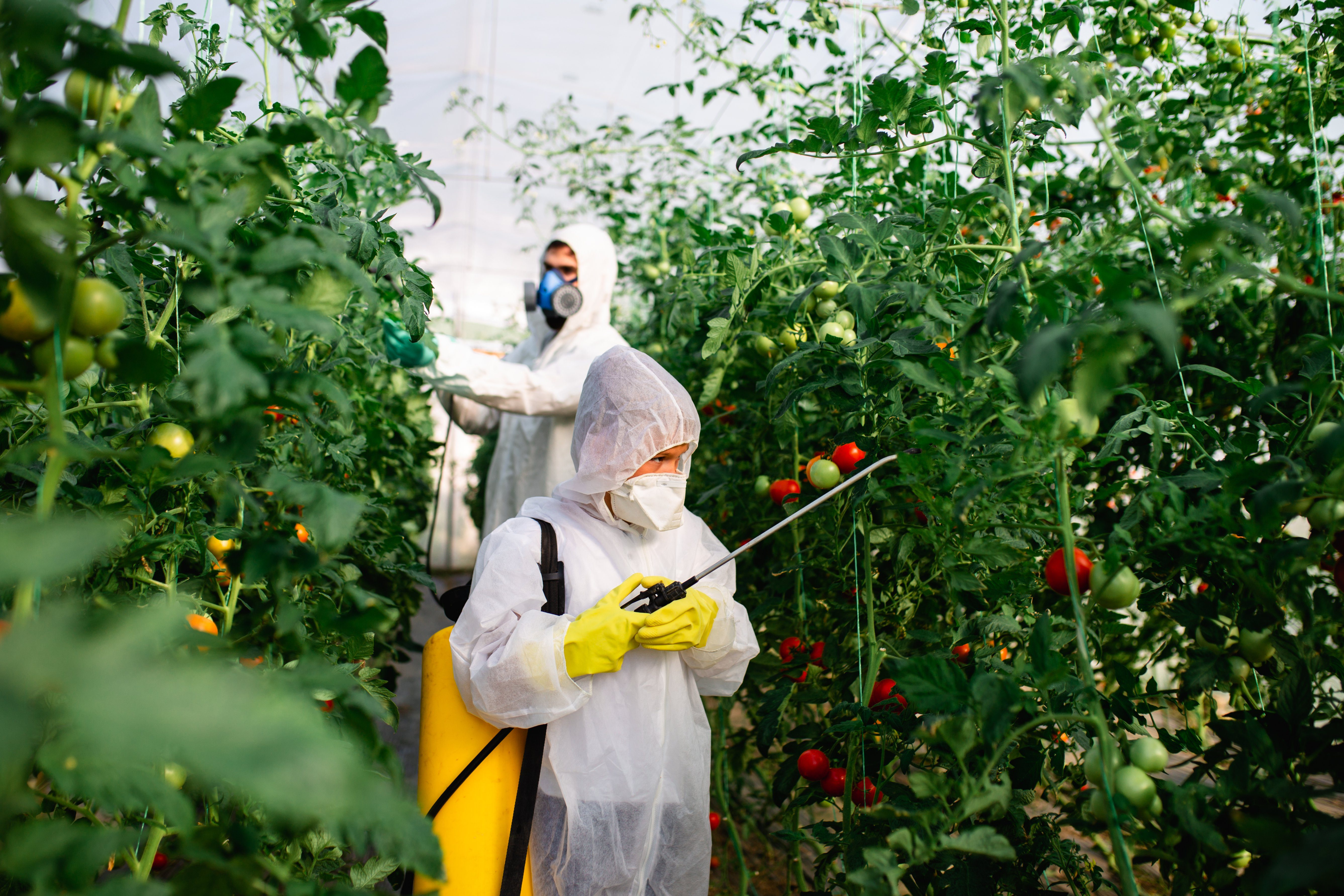 Father and son spraying organic pesticides on tomato plants in a greenhouse.