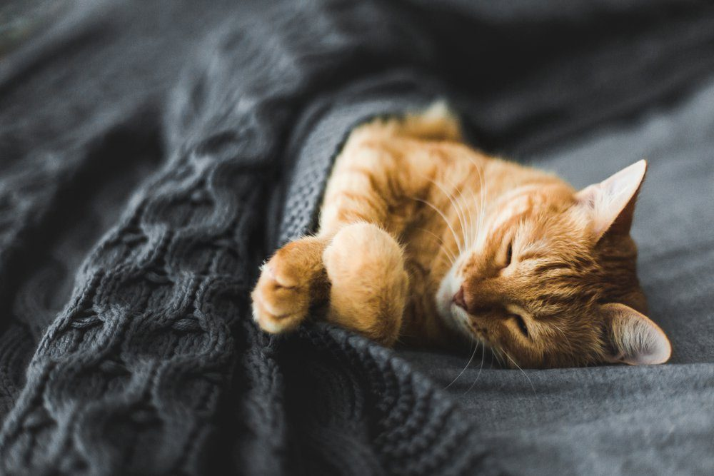 Red cat sleeps under a gray knitted plaid