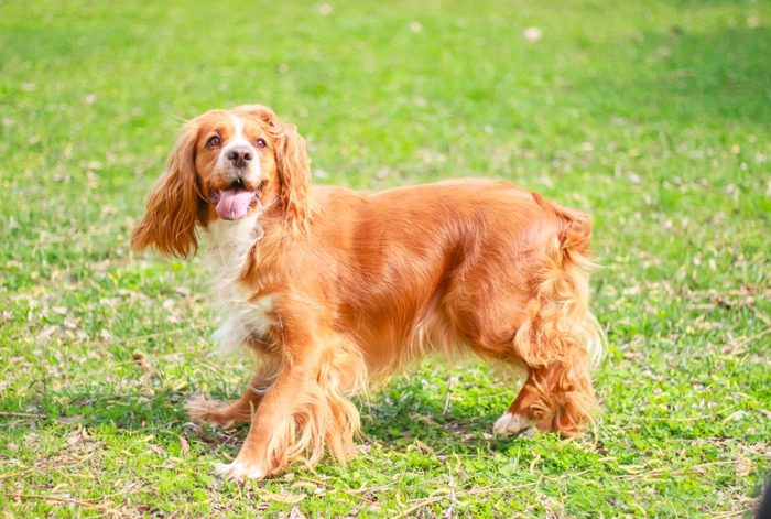 best dog breeds for families