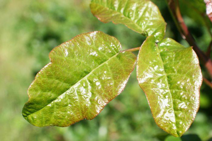 Poison Oak Leaf Stock Photo High Quality
