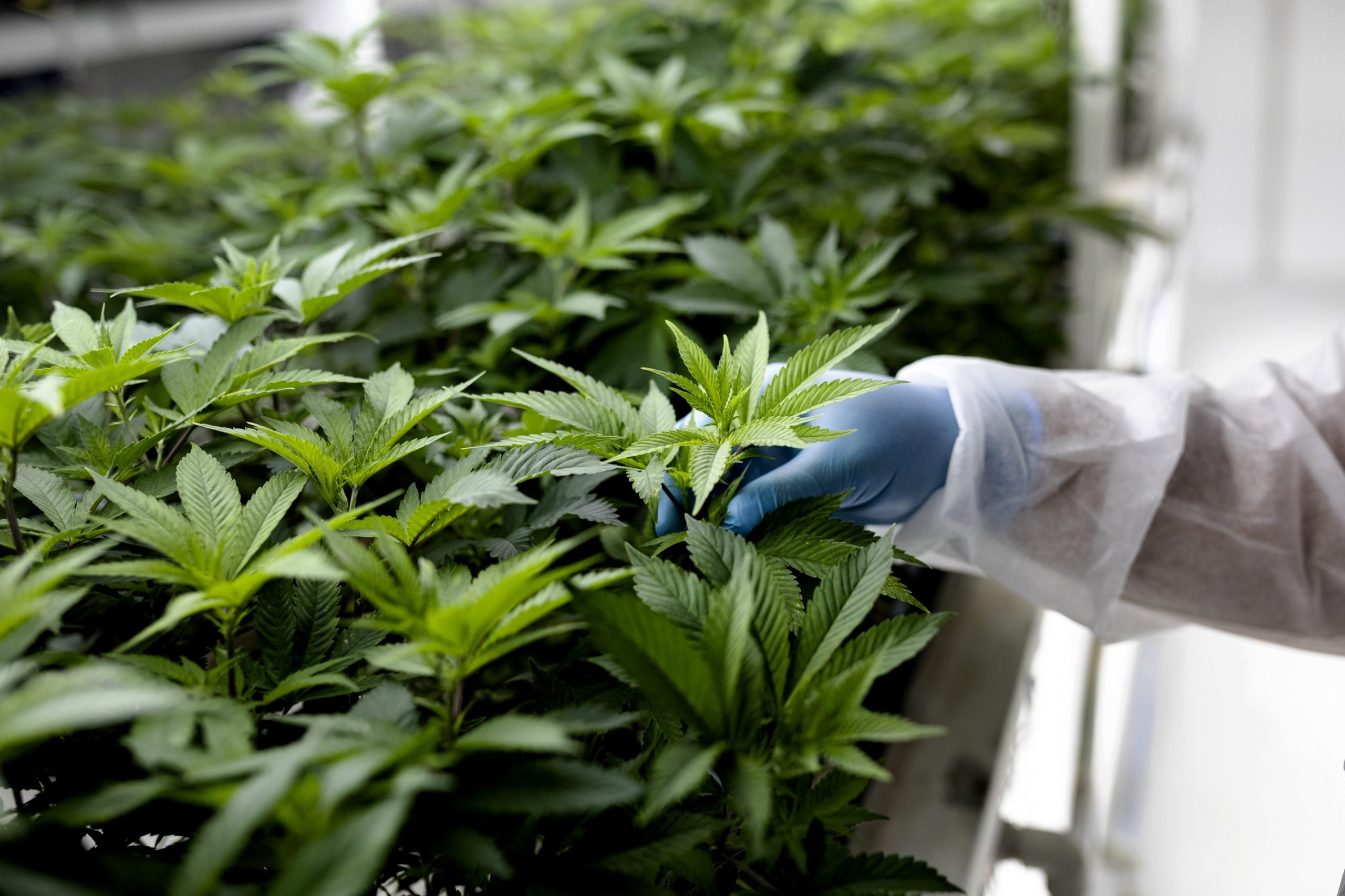 what is hemp | close up of a technician inspecting the leaves of cannabis plants