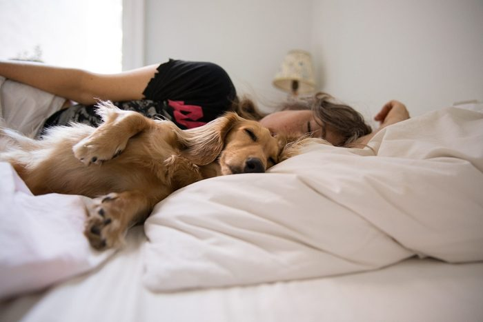 dog sleeping in bed | Long Haired Dachshund Sleeping In Bed With His Human
